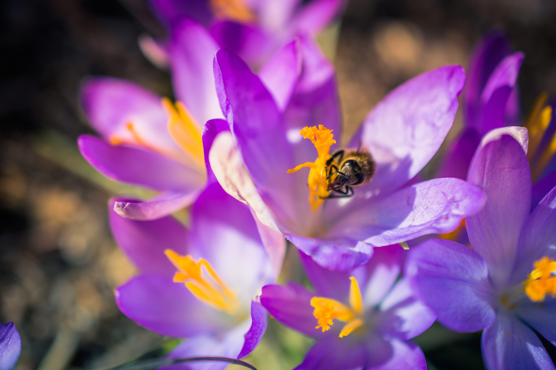 Free stock photo of bee, crocus, flowers, krokus