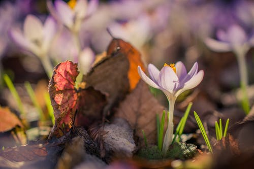 Ảnh lưu trữ miễn phí về cỏ, crocus, hoa, hoa mùa xuân