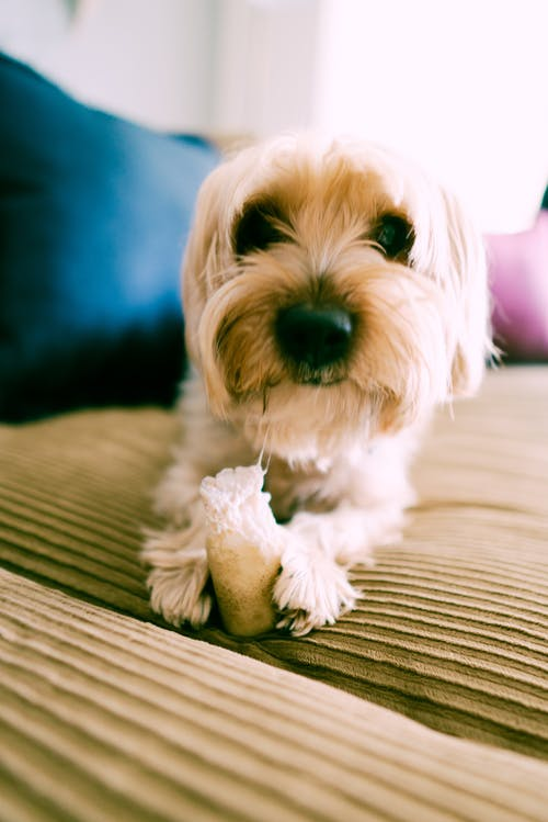 Close-Up Photo of a Cute White Long Coated Small Dog