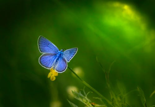 Close-Up Photo of a Blue Butterfly Pollinating on a Flower