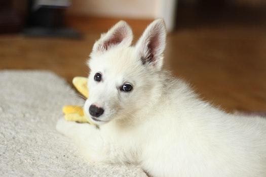 Short-coated White Dog on White Textile