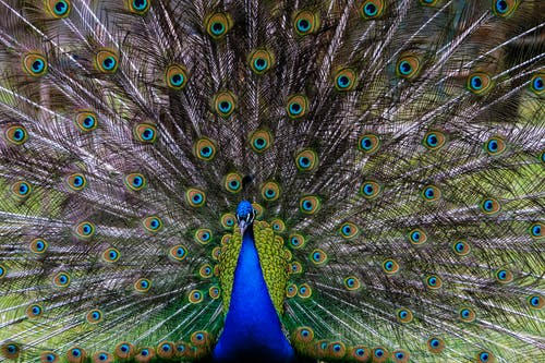 Peacock Feather on Blue Textile