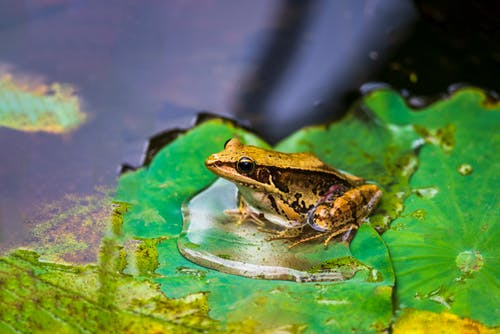 Frog on a Leaf Floating on Water