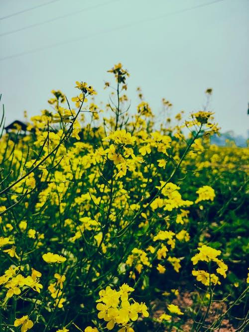 Foto d'estoc gratuïta de camp de mostassa, flors, flors de mostassa