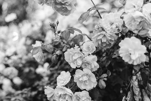 Grayscale Photo of Pretty Flowers