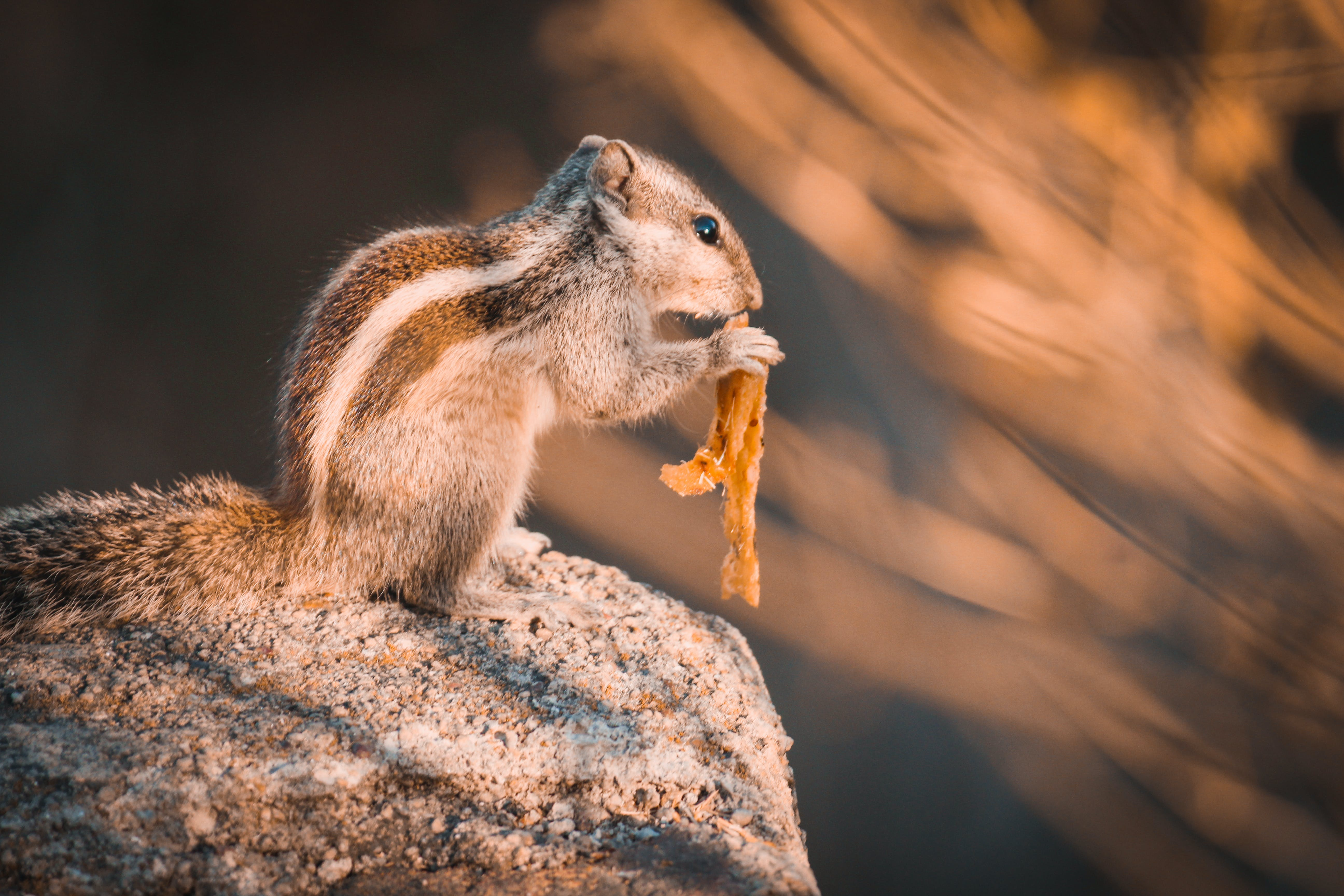 Squirrel on Rock Selective Focus Photography