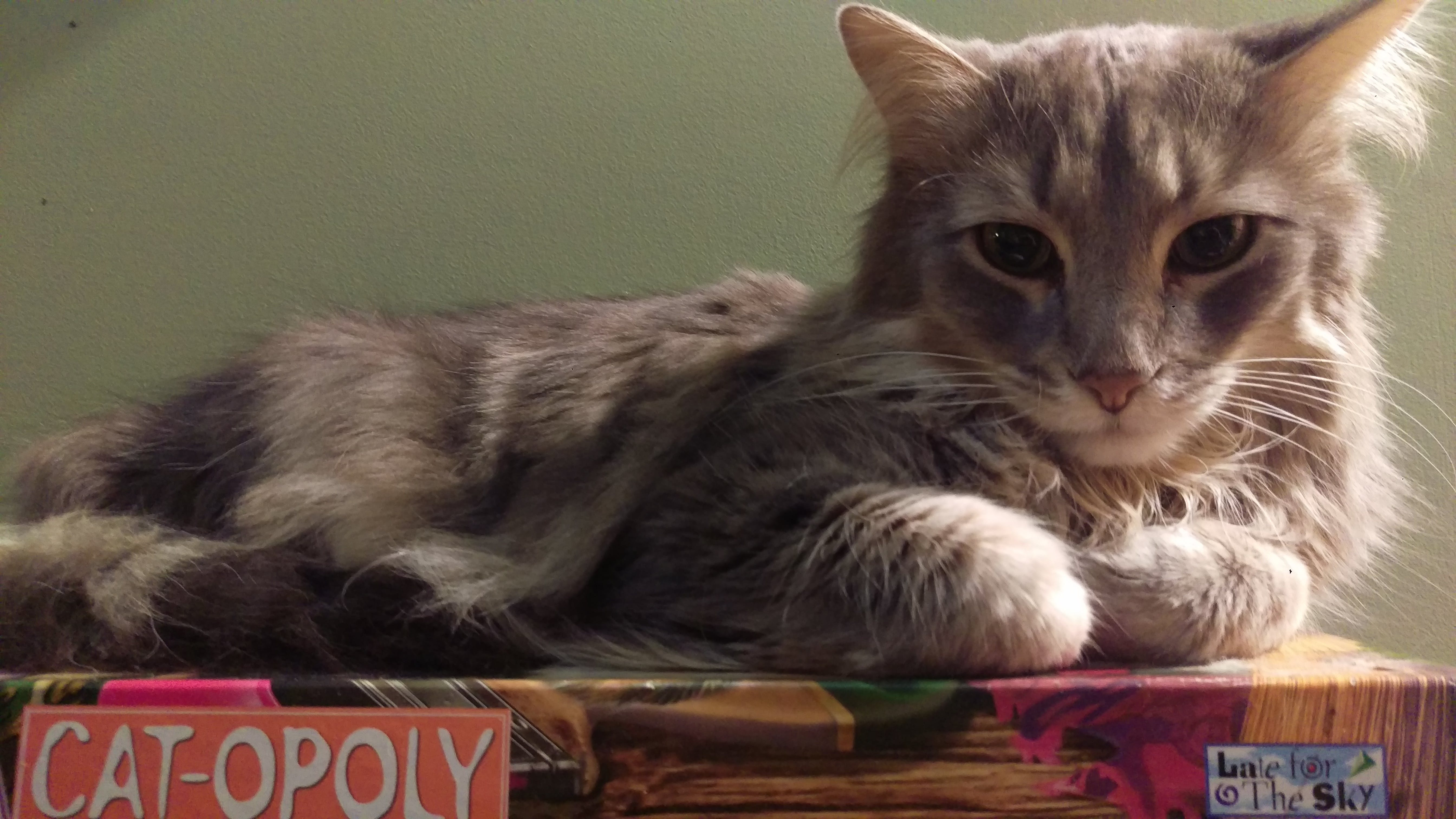 カトポリ, ゲーム, ネコ, 猫の好意の無料の写真素材