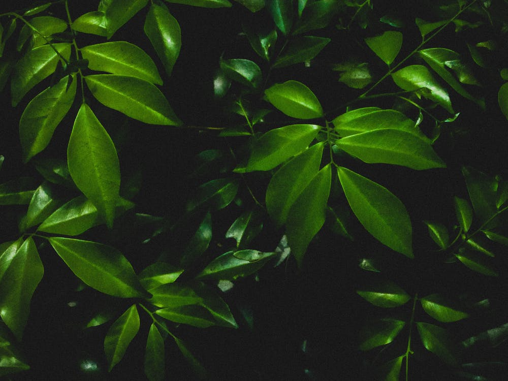 màu xanh lá, Màu xanh lá cây đậm, những chiếc lá xanh