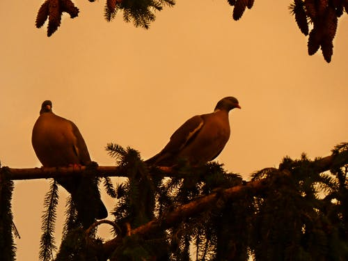 Free stock photo of two wiild pigeons on a branch