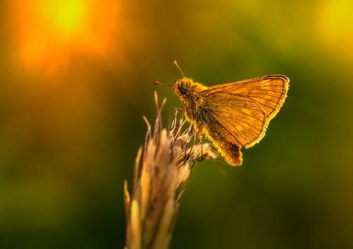 Macro Photography of an Essex Skipper on Brown Plant