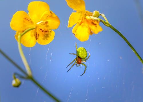 Foto d'estoc gratuïta de animal, aràcnid, aranya