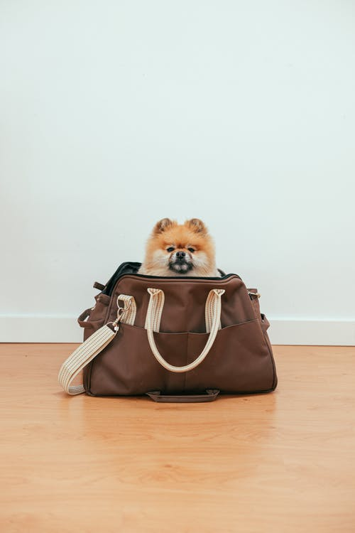 Brown and White Pomeranian Puppy in Brown Leather Handbag