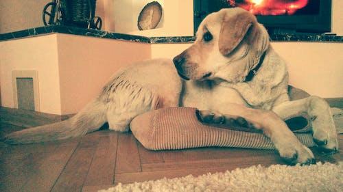 Foto d'estoc gratuïta de animals domèstics, gos, labrador, mascotes