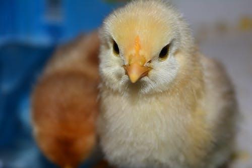 Základová fotografie zdarma na téma kuřata, modrá, příroda, žlutá