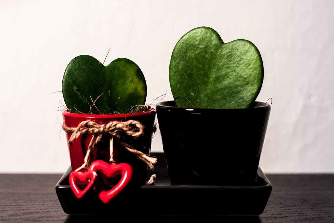 couple, hoya, plant