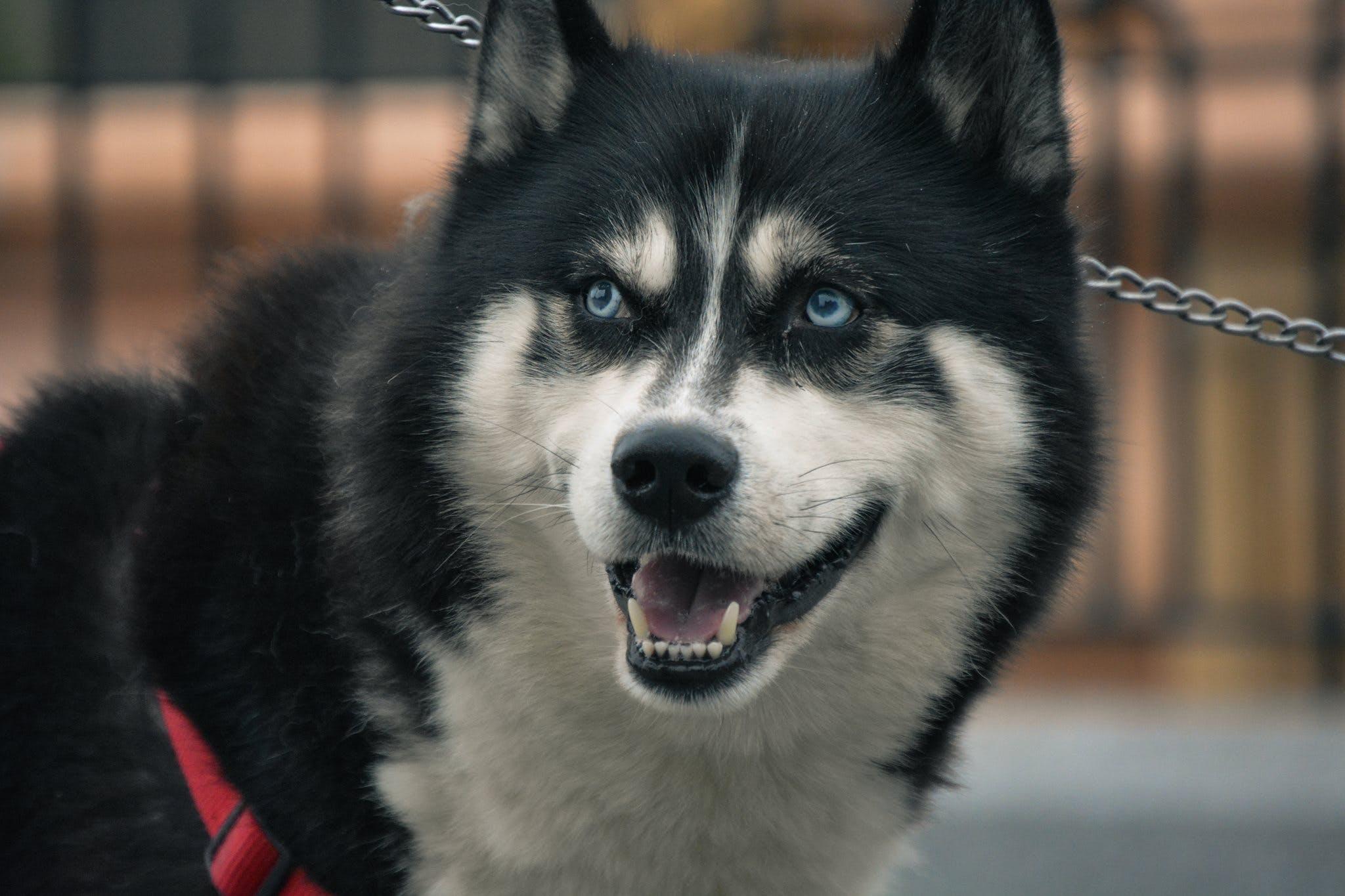 Free stock photo of animal, animal photography, animal portrait, blue eyes
