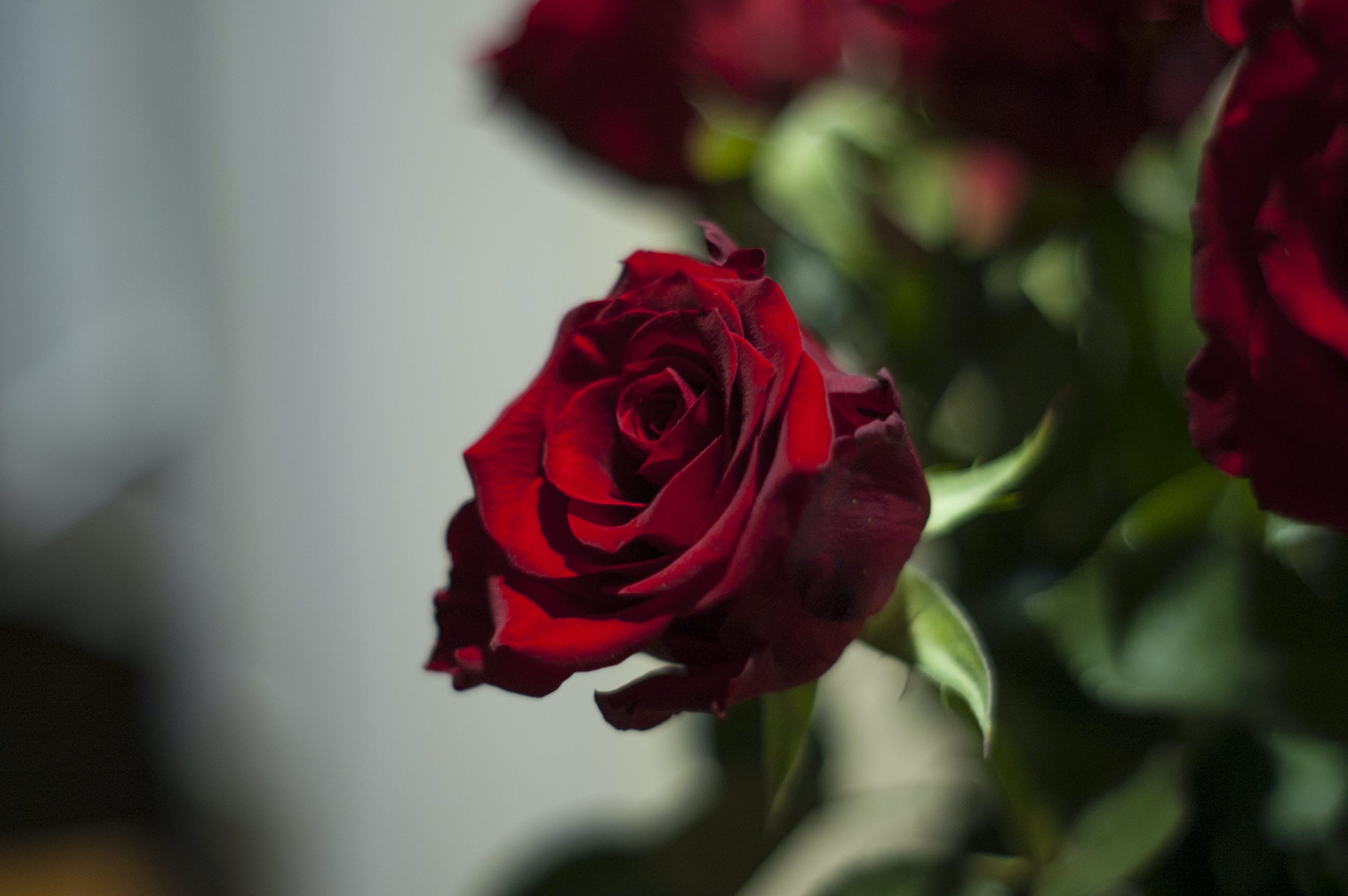 Free stock photo of night, rose
