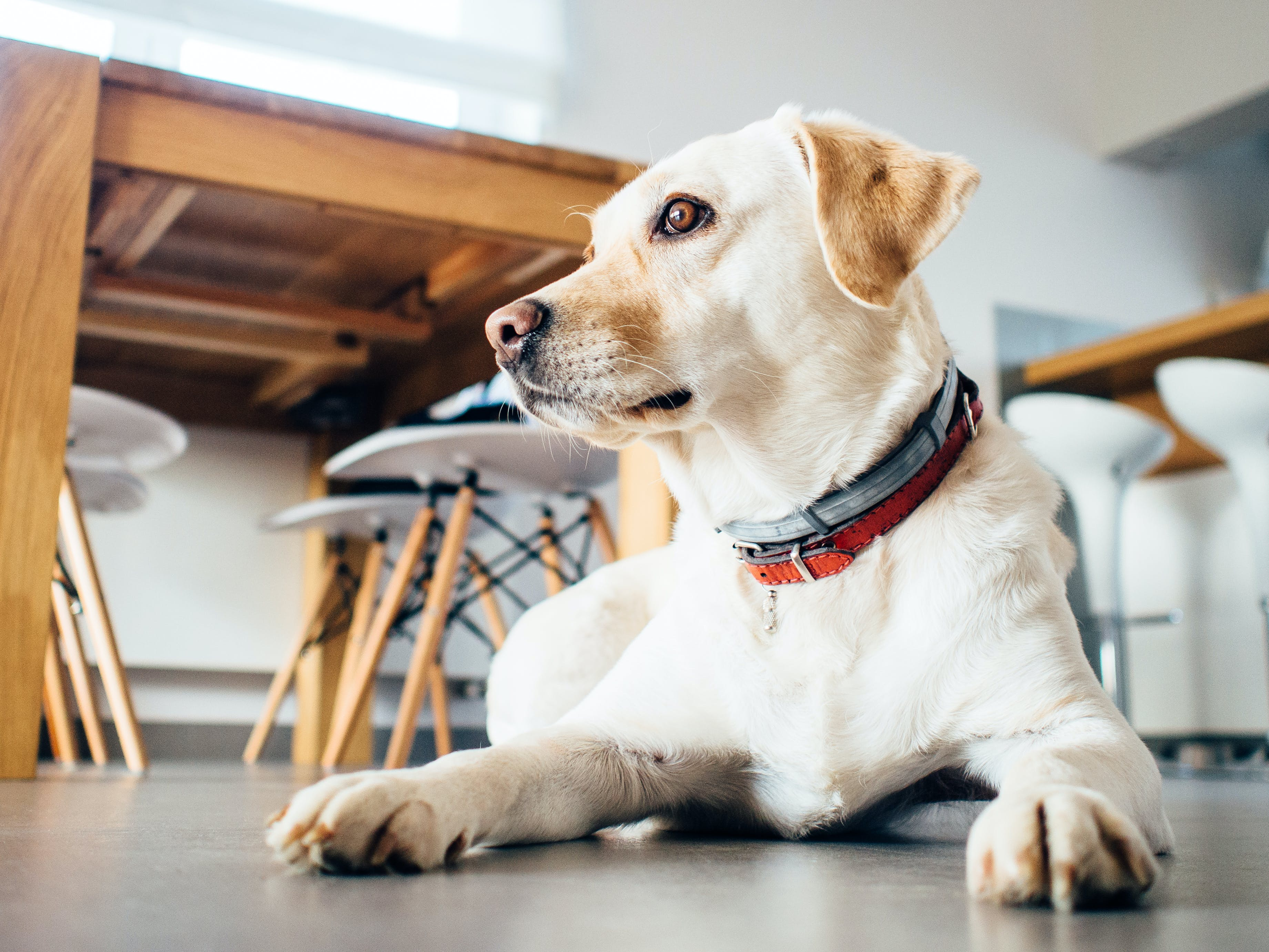 Selective Focus Photography of of Yellow Labrador Retriever