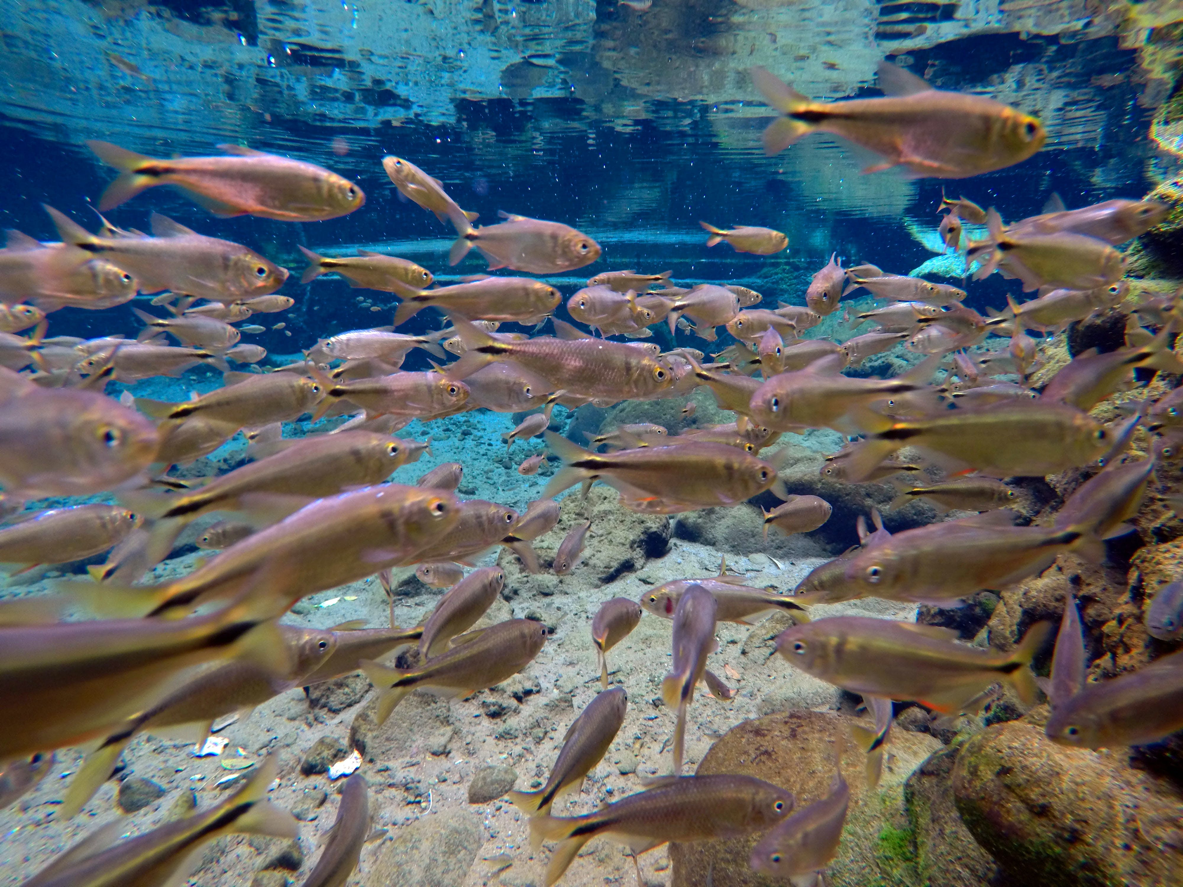Free stock photo of fishes, nature, river, shoal