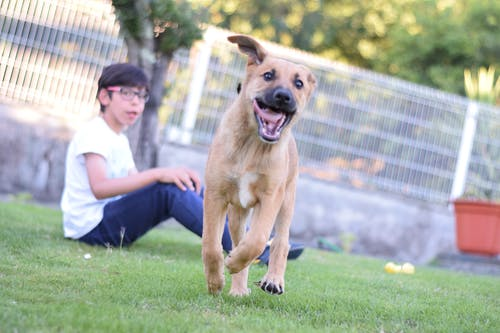 Kostenloses Stock Foto zu brauner hund, hund, joggen