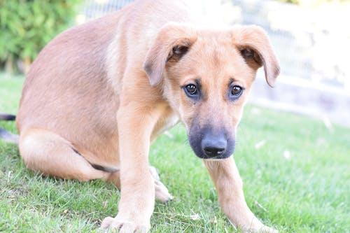 Kostenloses Stock Foto zu aufmerksamkeit, brauner hund, hund