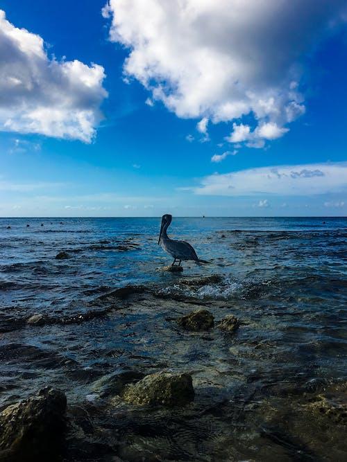 海洋, 海灘, 鵜鶘 的 免費圖庫相片