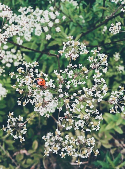 Close-Up Shot of a Ladybug on White Flowers