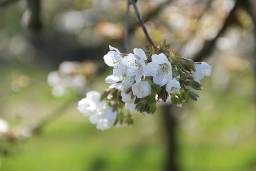 Free stock photo of bloom, blossoms, cherries