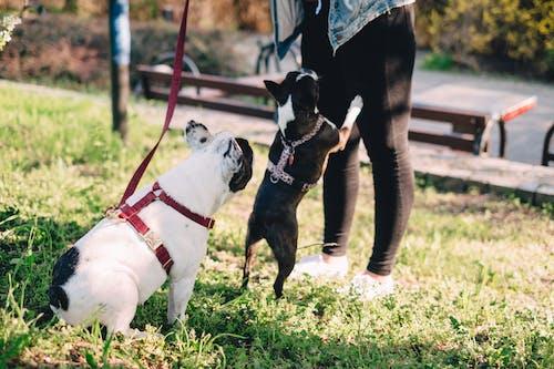 フィールド, フレンチ・ブルドッグ, ペットの無料の写真素材