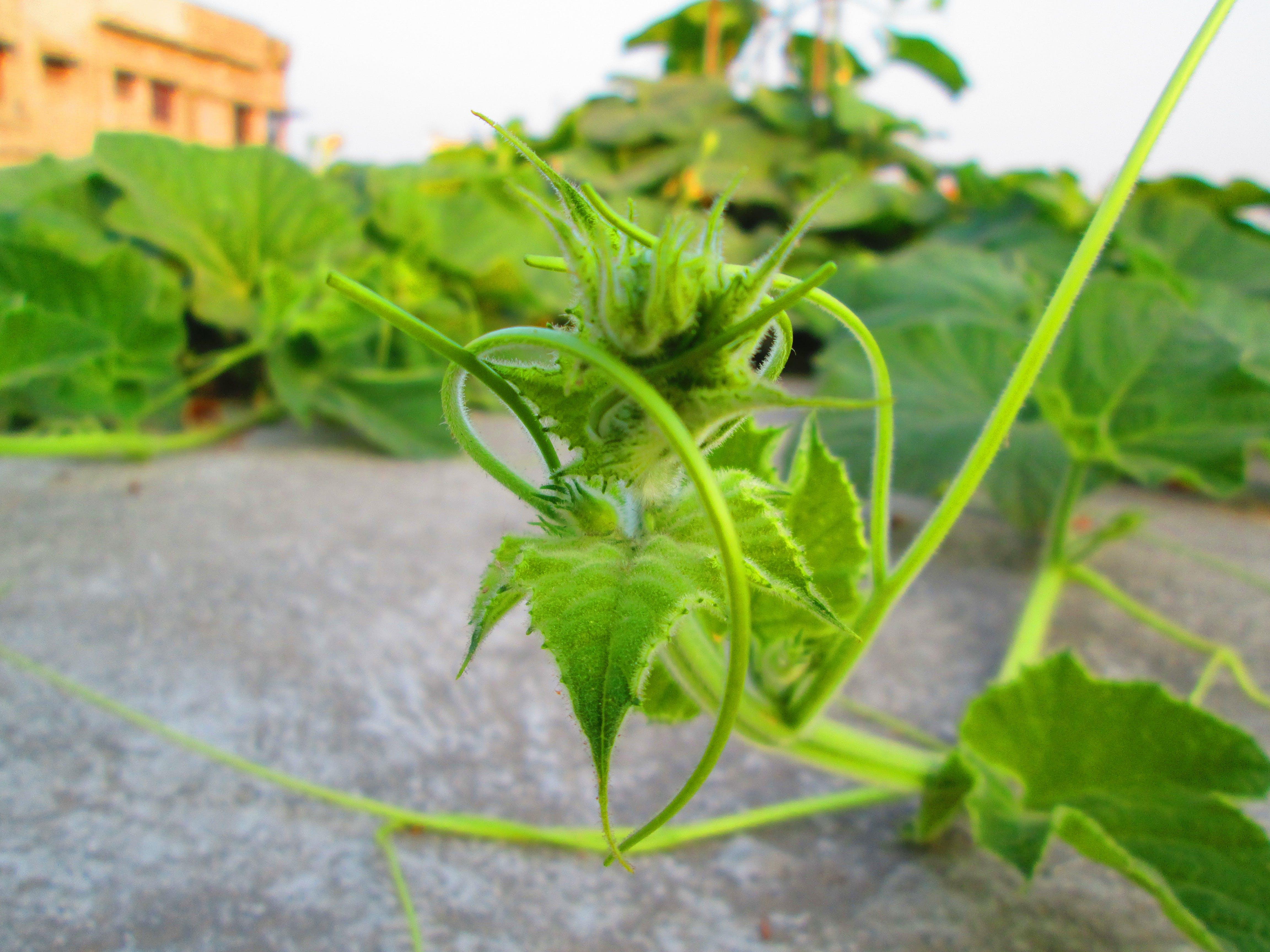 Free stock photo of close, green, macro photo, vines