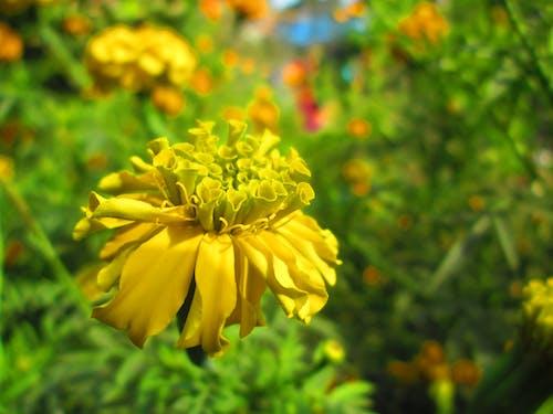 çuha çiçeği, kapamak, sarı çiçek içeren Ücretsiz stok fotoğraf