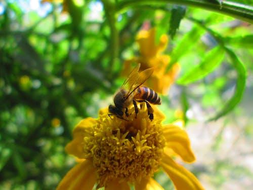 arı, bal özü, böcek, çiçek içeren Ücretsiz stok fotoğraf