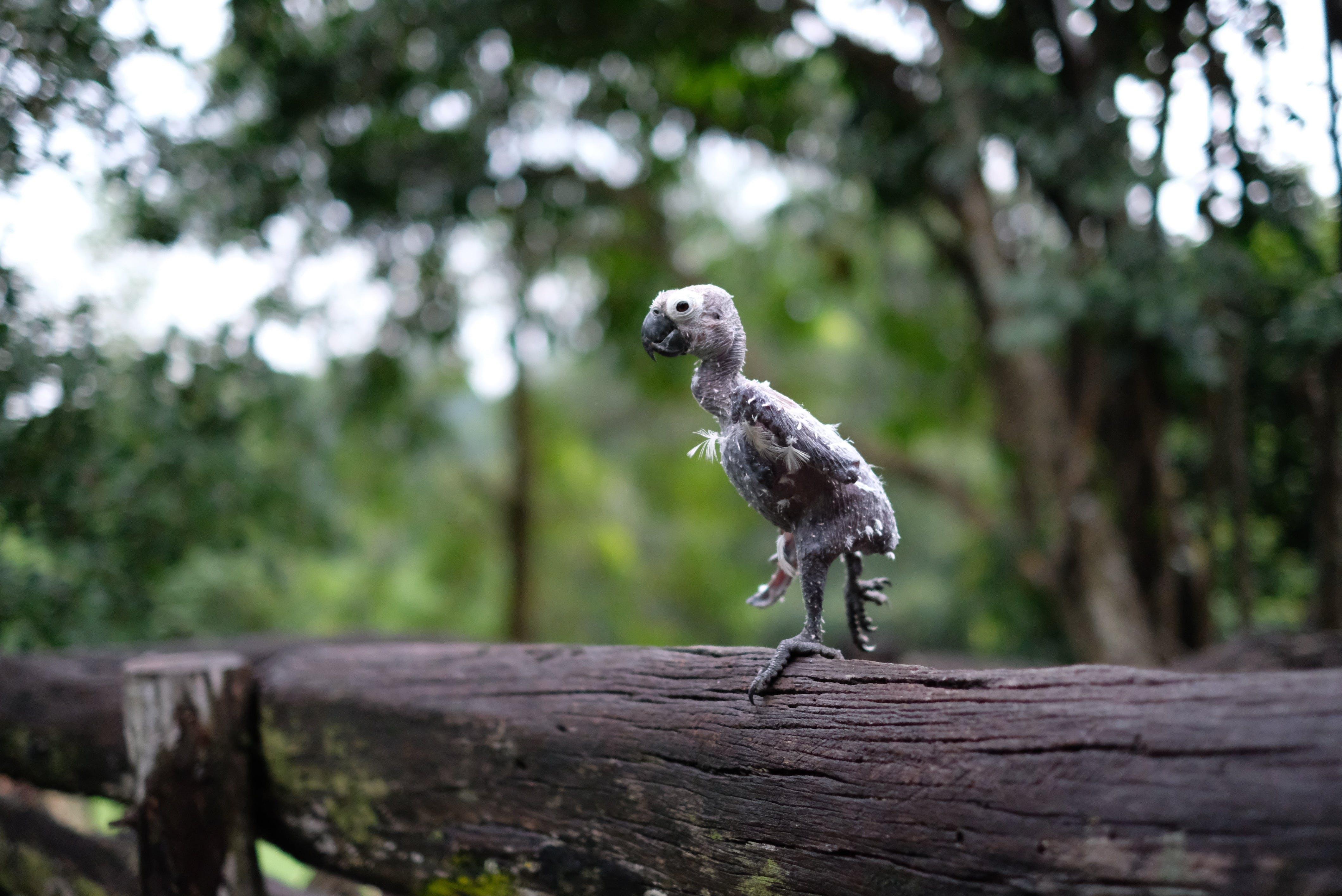 Featherless Bird on Wooden Fence