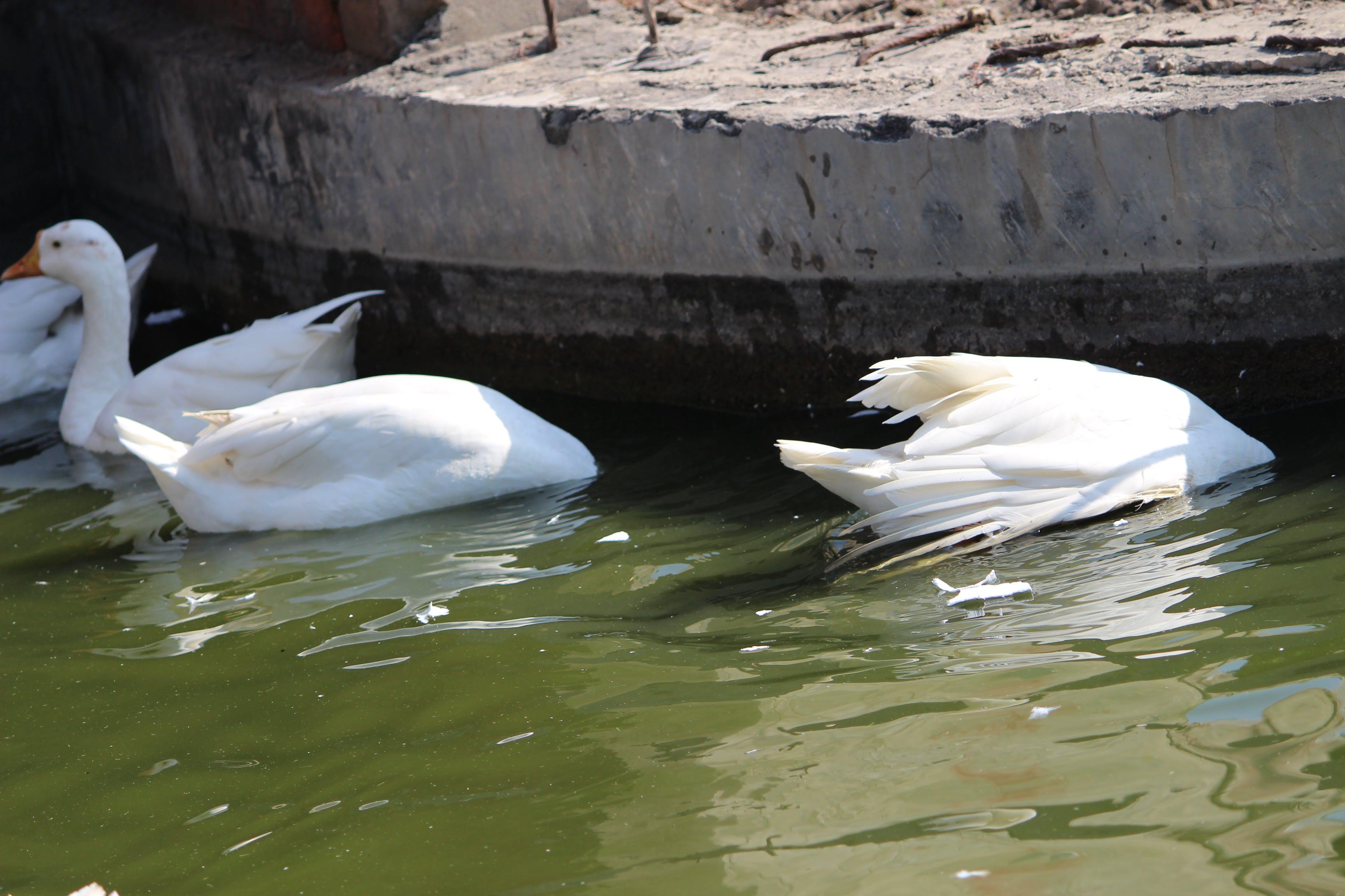 Free stock photo of bath ducks