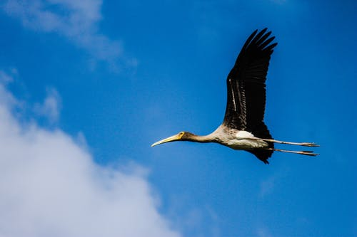 Immagine gratuita di ali, cicogna, cicogna dipinta, cielo azzurro