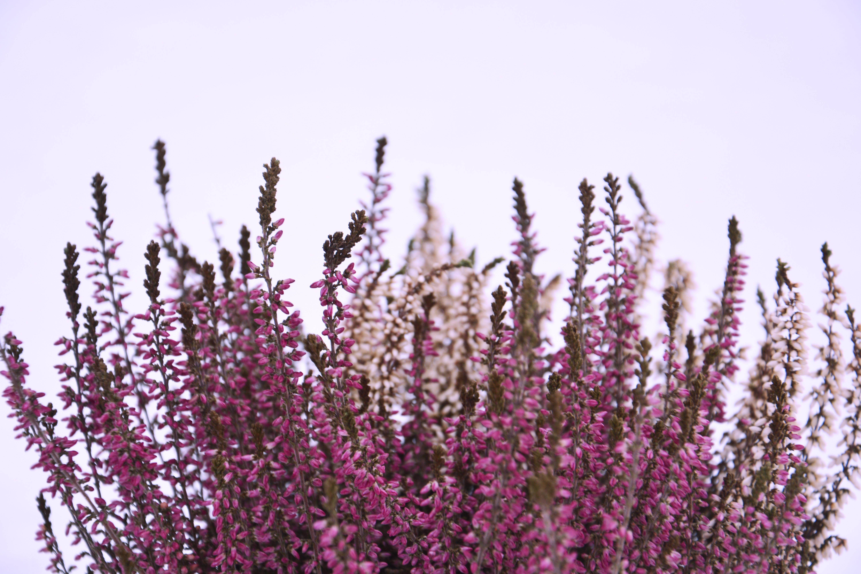 Free stock photo of flowers, heather