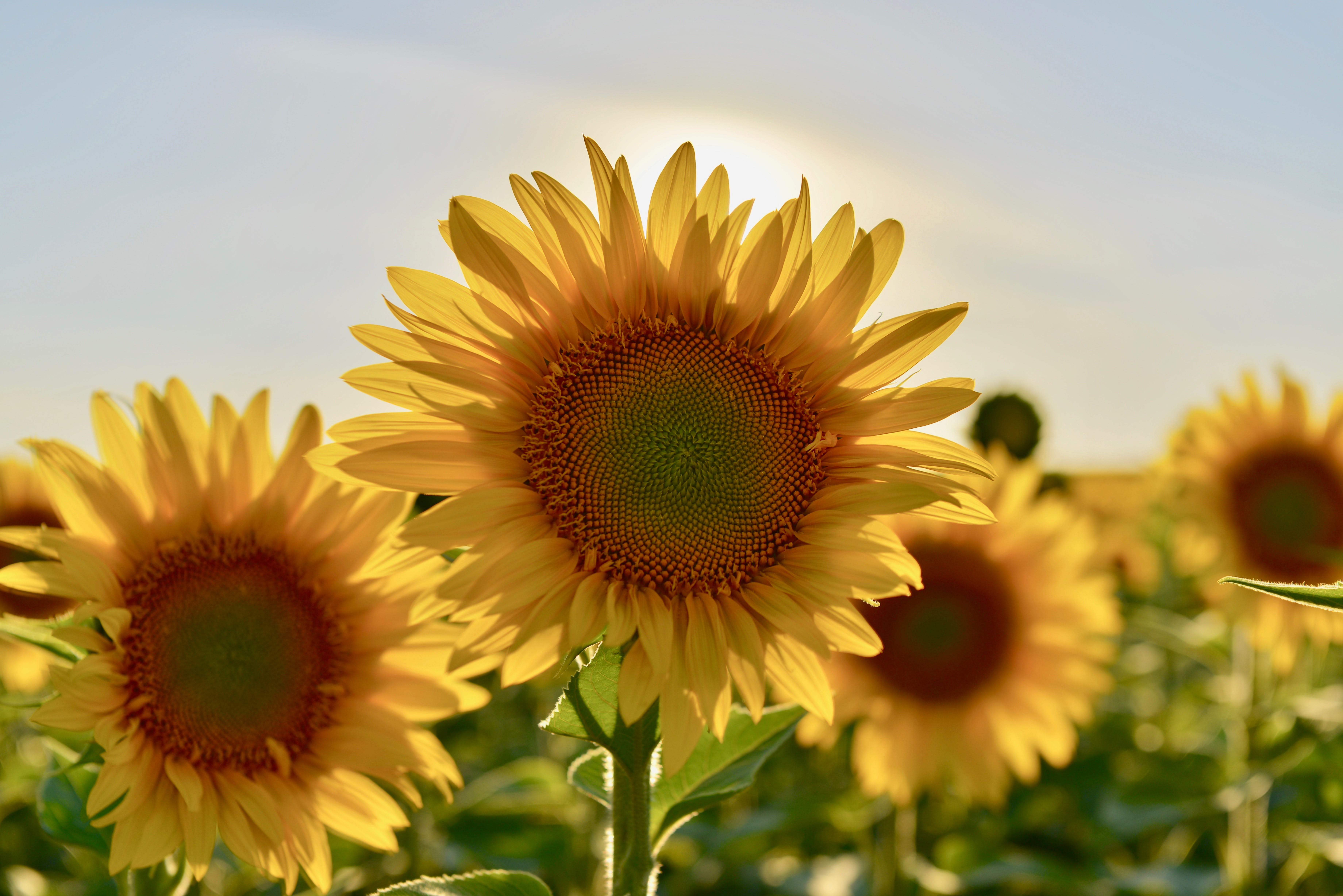 Selective Focus Photography of Sunflower