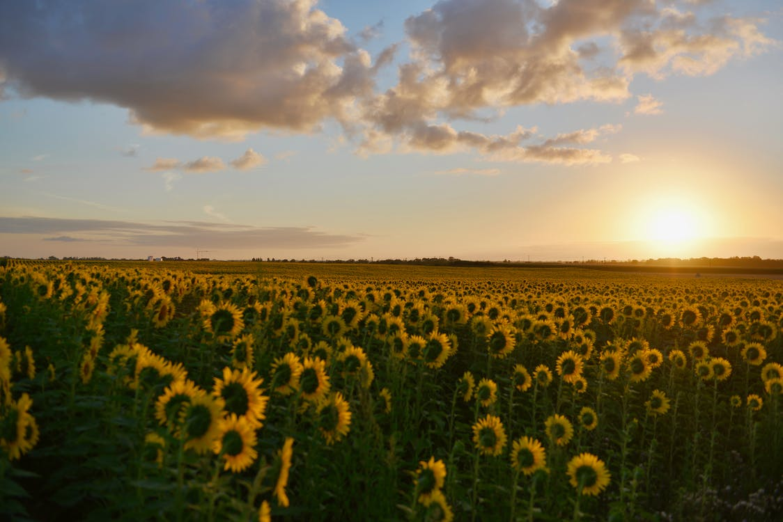 Landscape Photography of Sunflower Field during Sunset