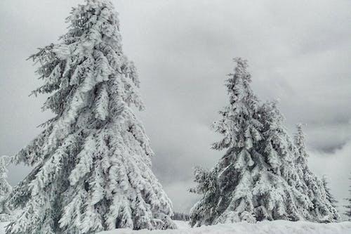 Kostenloses Stock Foto zu bäume, düster, fichte, kalt