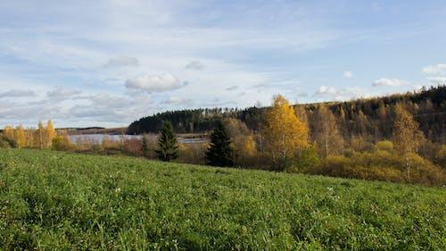 Gratis arkivbilde med furutrær, gressfelt, typisk finsk