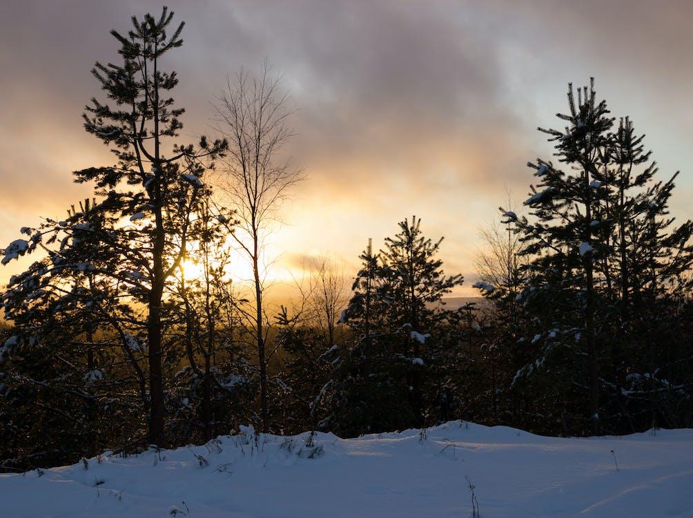 furutrær, lappland, snø