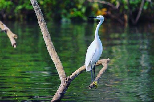 Безкоштовне стокове фото на тему «біла птах, вода, водяний птах, дика природа»