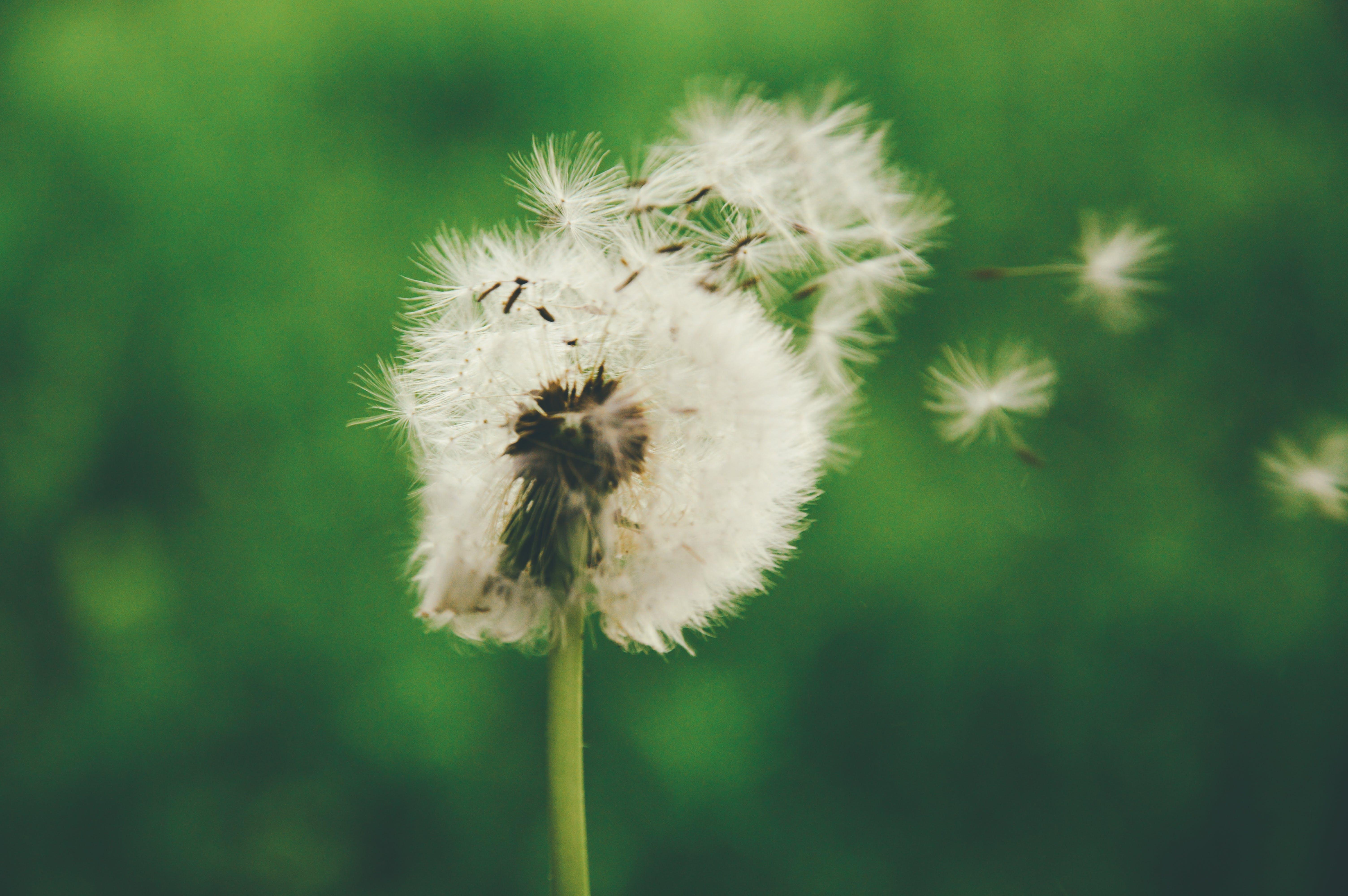Free stock photo of dandelion, puffball