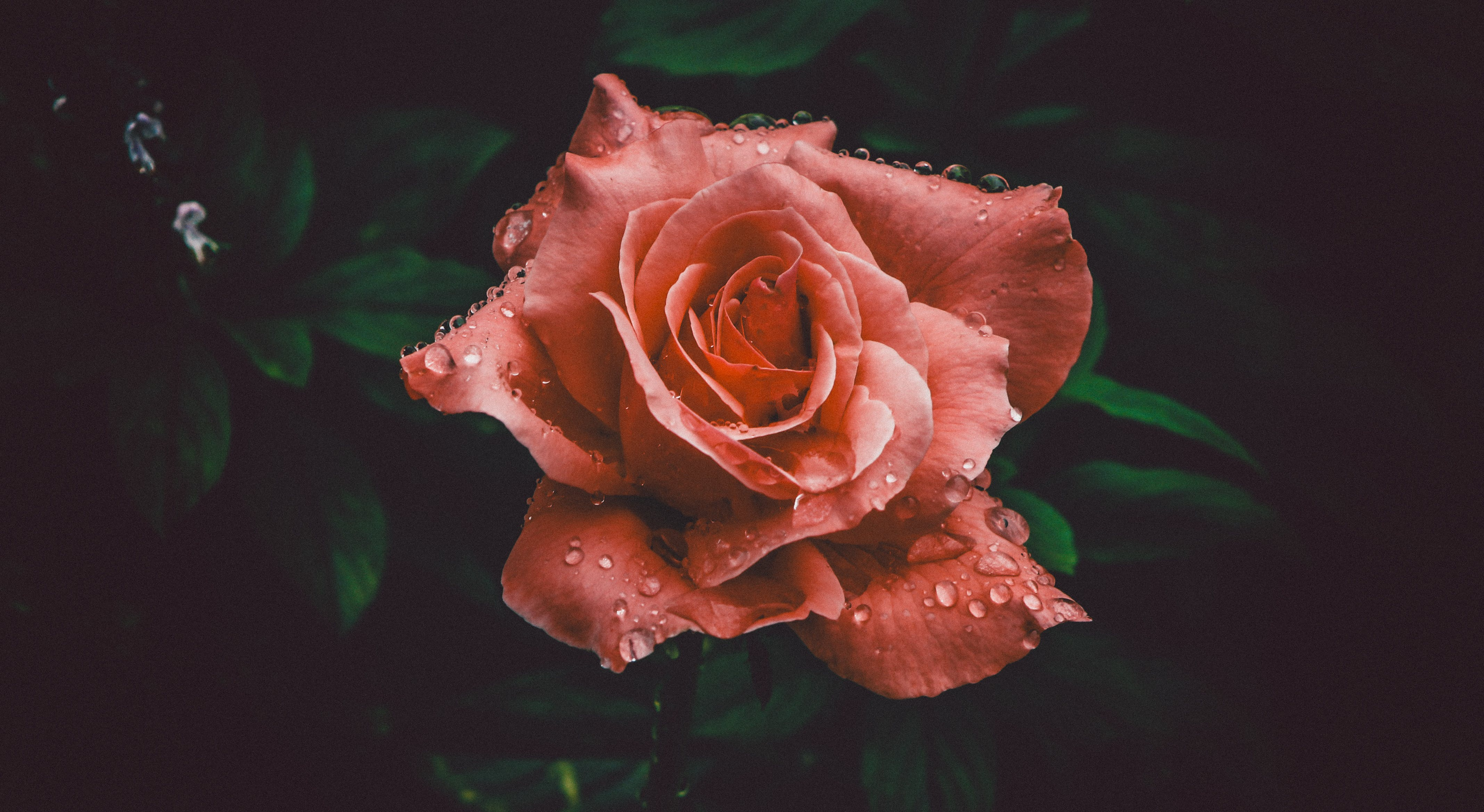Red Rose Flower in Closeup Photography
