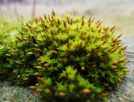 Free stock photo of moss, green, buds, spikes