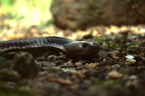 Gratis lagerfoto af cobra, dyr, dyrefotografering, farlig