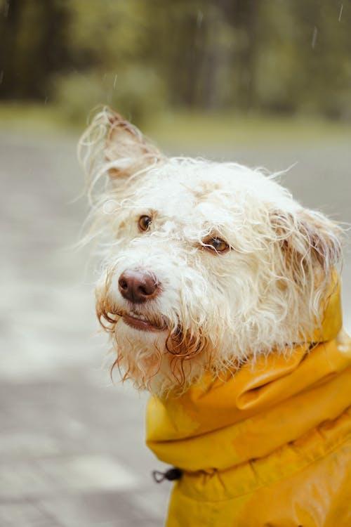 White Long Coated Dog in Yellow Raincoat