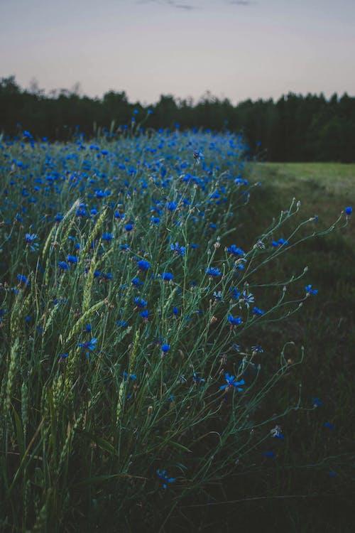 bane, blå blomster, blomster