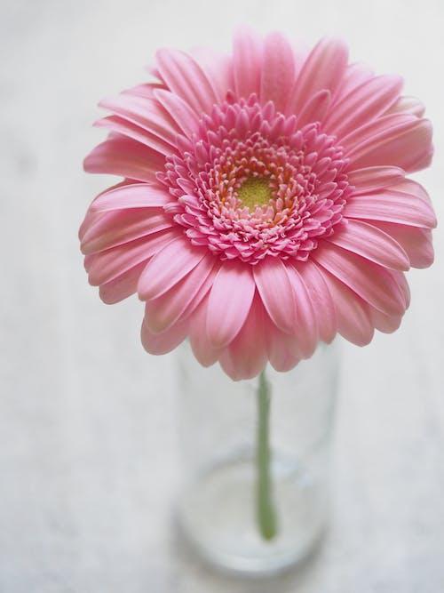 Pink Gerbera Flower in Closeup Photography