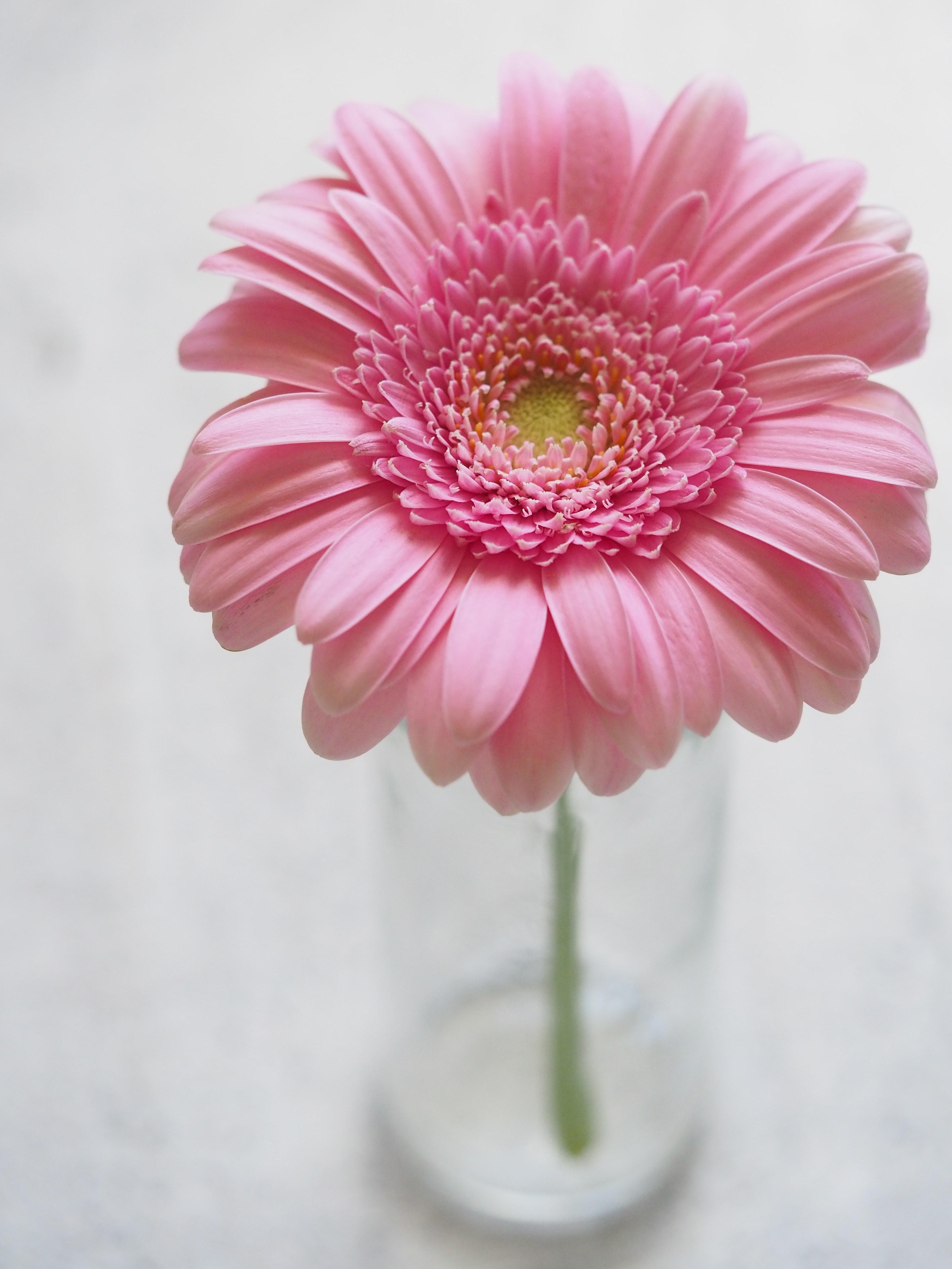 Pink Gerbera Flower In Closeup Photography Free Stock Photo